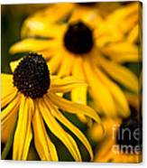 Happy Susans Canvas Print
