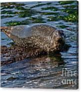 Harbor Seal At Low Tide Canvas Print