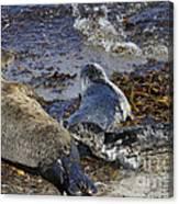 Harbor Seal Nursing Canvas Print