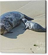 Harbor Seal Suckling Young Canvas Print