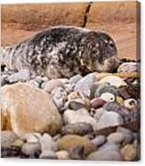 Harbour Seal   Canvas Print