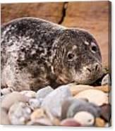 Harbour Seal Close Up Canvas Print