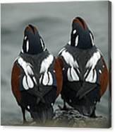 Harlequin Ducks Canvas Print