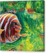 Harlequin Tuskfish Canvas Print