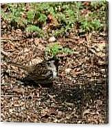 Harris Sparrow Collecting Seeds Canvas Print