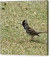 Harris Sparrow On Grass Canvas Print