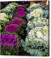 Harvest Cabbage Canvas Print