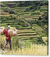 Harvest Season In Rice Field Canvas Print