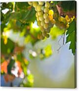 Harvest Time. Sunny Grapes V Canvas Print
