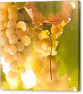 Harvest Time. Sunny Grapes Vi Canvas Print