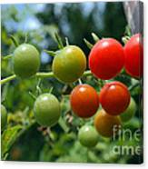 Harvest Tomatoes Canvas Print