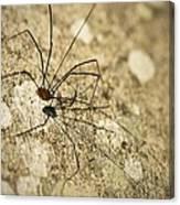 Harvestman Spider Canvas Print
