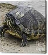 Hatteras Turtle 2 Canvas Print