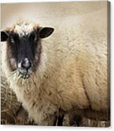 Have You Any Wool? Canvas Print