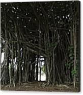 Hawaiian Banyan Tree - Hilo City Canvas Print