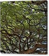 Hawaiian Banyan Tree Canvas Print