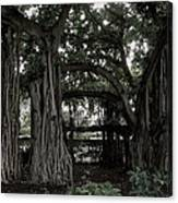 Hawaiian Banyan Trees Canvas Print