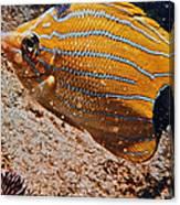 Hawaiian Butterfly Fish Canvas Print