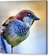 Hawaiian Sparrow Canvas Print