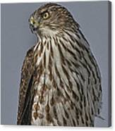 Hawk Beauty On The Lookout Canvas Print