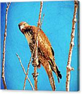 Hawk In A Glow Canvas Print