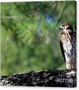 Hawk In Tree Canvas Print