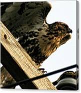 Hawk On Telephone Pole Canvas Print