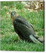 Hawk On The Grass Canvas Print