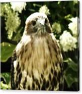 Hawk Portrait Canvas Print