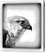 Hawk - Raptor Canvas Print