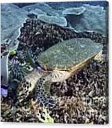 Hawksbill Sea Turtle Canvas Print