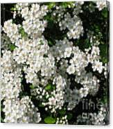 Hawthorn In Bloom Canvas Print