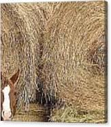 Hay Horse Canvas Print