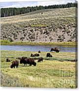Hayden Valley Bison Herd In Yellowstone National Park Canvas Print