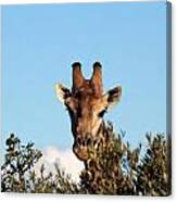 Head Above The Rest Canvas Print