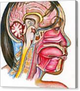 Head And Neck Anatomy Canvas Print