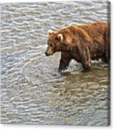 Head Grizzly Bear With Intense Fishing  Focus For Salmon In Moraine River In Katmai Np-ak Canvas Print