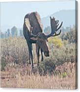 Head Lowered Bull Moose Canvas Print