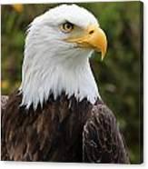 Head Of A Male American Bald Eagle Canvas Print
