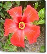 Head On Shot Of A Red Tropical Hibiscus Flower Canvas Print