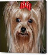 Headshot Of Show Yorkshire Terrier Canvas Print