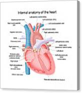 Heart Anatomy Canvas Print