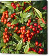 Heavenly Bamboo Red Berries Canvas Print
