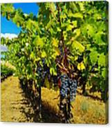 Heavy On The Vine At The High Tower Winery  Canvas Print