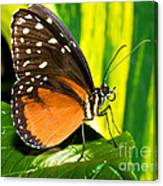 Hecale Longwing Butterfly Canvas Print