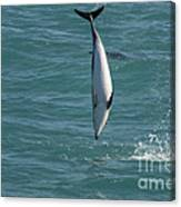 Hector Dolphin Diving Canvas Print