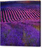 Height Of The Bloom Rolling Lavender Fields Canvas Print