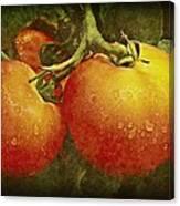 Heirloom Tomatoes On The Vine Canvas Print