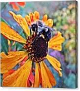 Helenium Bumble Bee Canvas Print