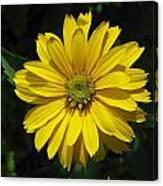Heliopsis Summer Sun Canvas Print